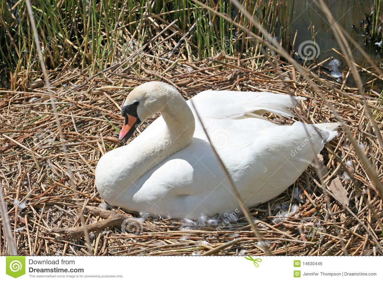Swan On Nest Royalty Free Stock Image.