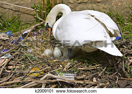 Stock Photography of Swans nest k2009101.
