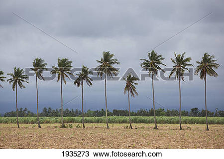 Stock Photo of Palm Trees Sway In The Wind In A Sugarcane Field As.