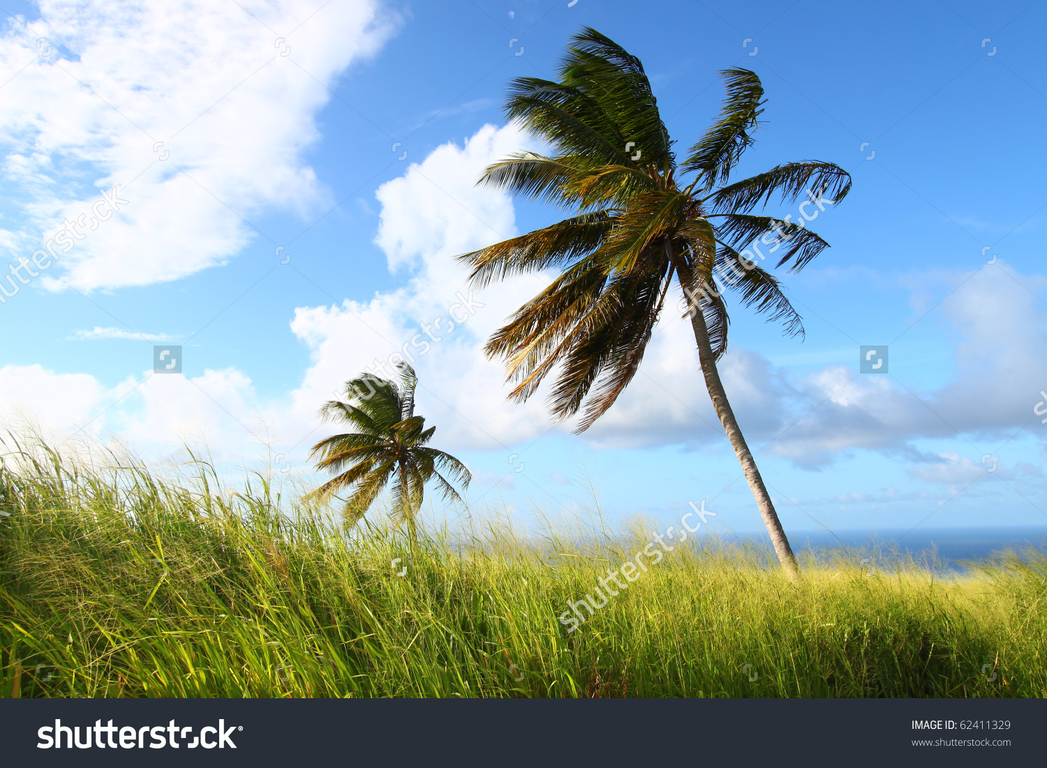 Palm Trees Sway Wind On Caribbean Stock Photo 62411329.