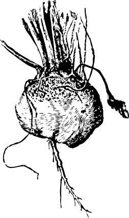 Free Rutabaga Clipart, 1 page of Public Domain Clip Art.