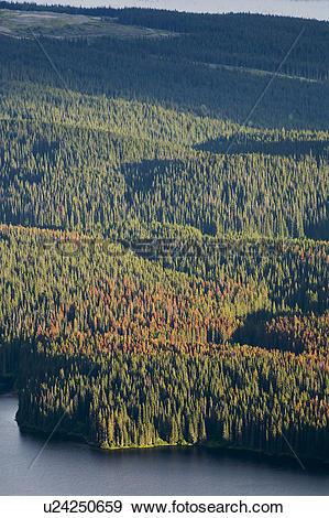 Stock Photograph of Mountain pine beetle infestation, Sweeney Lake.