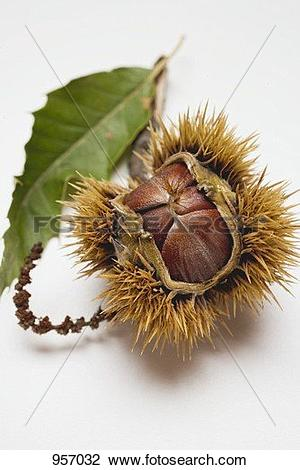Stock Photo of Sweet chestnut with leaf 957032.