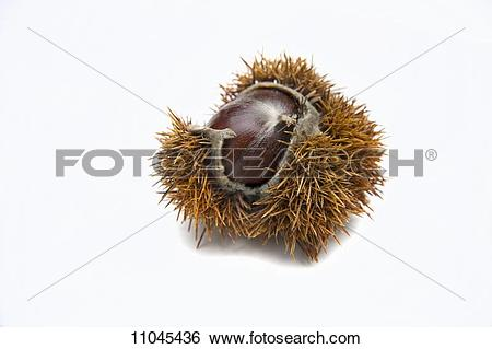 Stock Images of A sweet chestnut 11045436.
