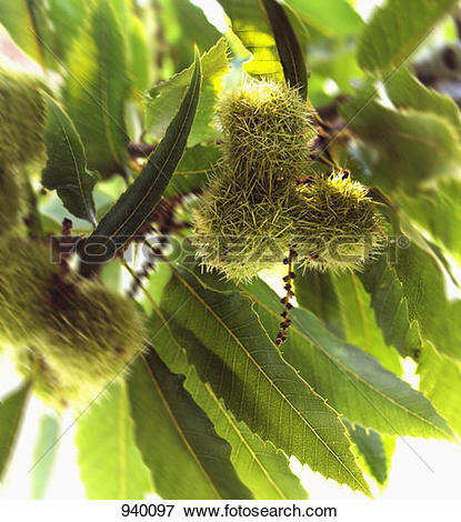 Picture of Sweet chestnuts on the tree 940097.