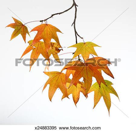 Stock Image of Sweet gum leaves (Liquidambar styraciflua), close.