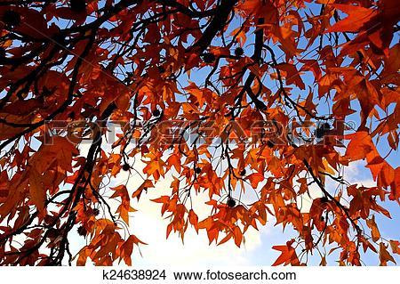 Stock Photo of sweet gum tree k24638924.