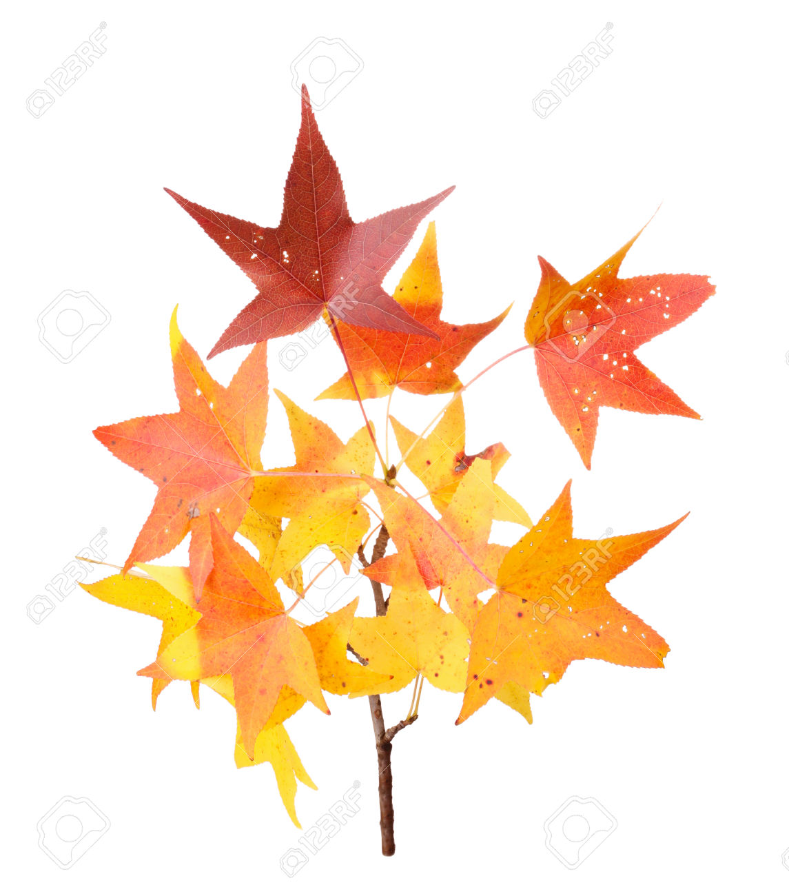 Red, Yellow And Orange Fall Leaves Of Sweet Gum Liquidambar.