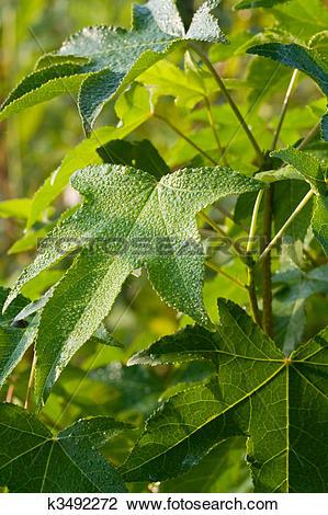 Stock Photo of Sweet Gum Leaves k3492272.