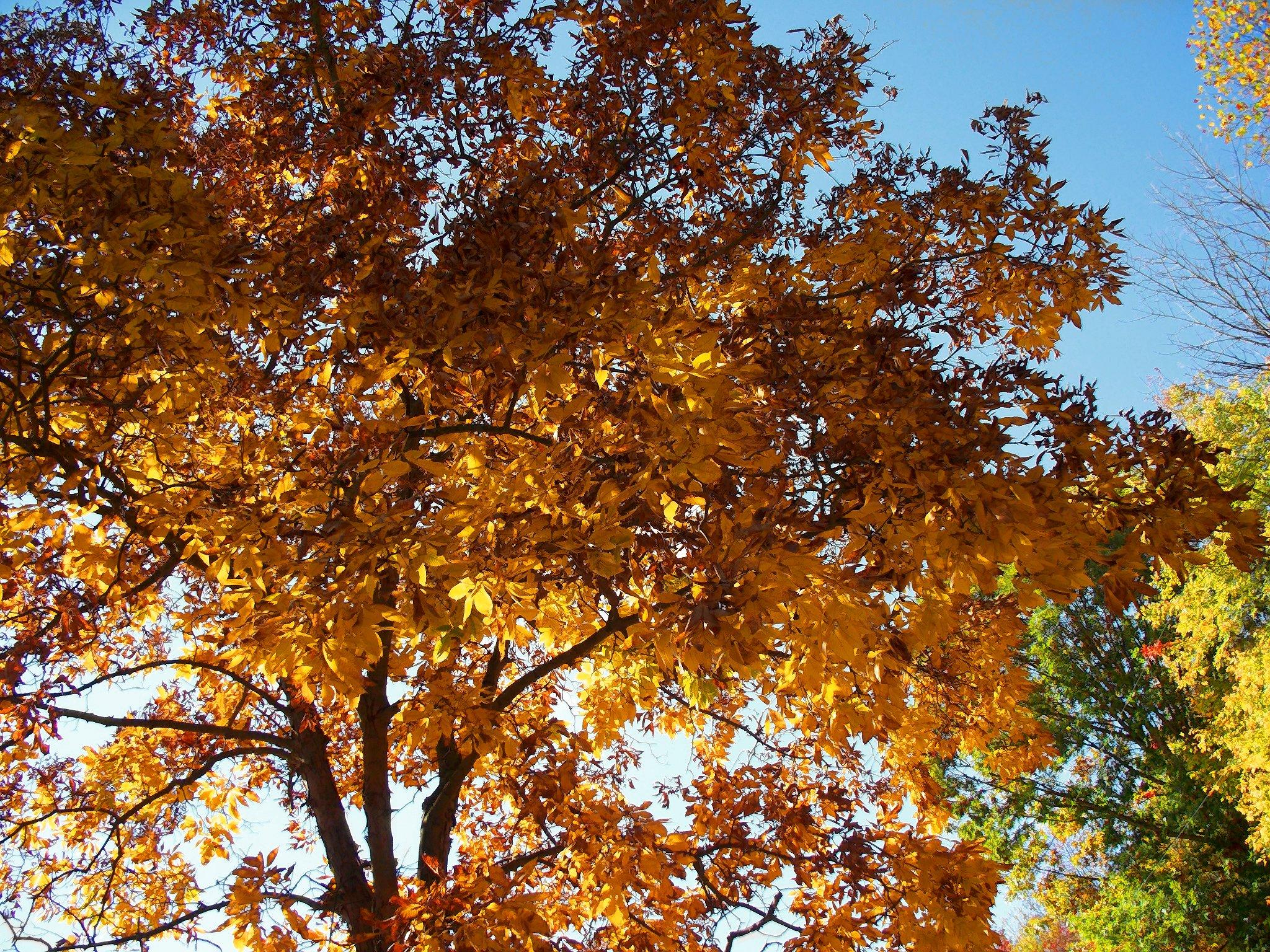 Sweetgum Tree Photo Album.