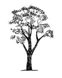 Gum tree clipart black and white.