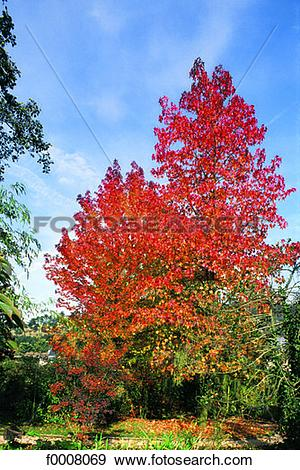 Stock Photograph of Sweet gum tree in autumn f0008069.