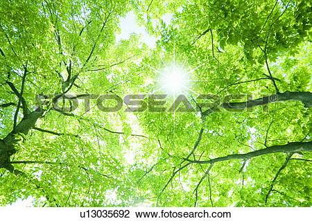 Stock Photo of Sun shining through Formosa Sweet Gum trees.
