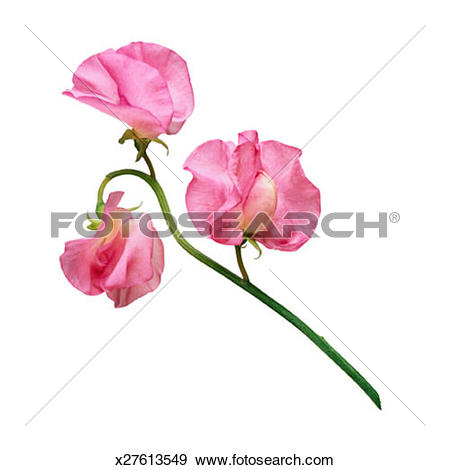 Stock Photograph of Pink Sweet Pea x27613549.