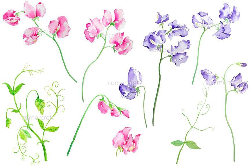 Sweet pea clipart, pink sweet peas, purple sweet peas instant download.