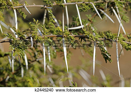 Stock Photography of Twig of Sweet Thorn, Acacia Karoo, South.