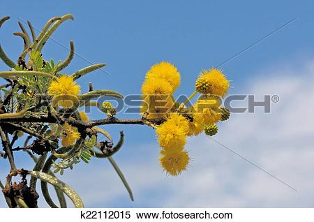 Stock Image of Sweet Thorn tree k22112015.