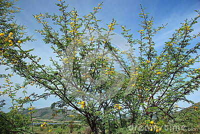 Karroo Thorn Tree Royalty Free Stock Images.