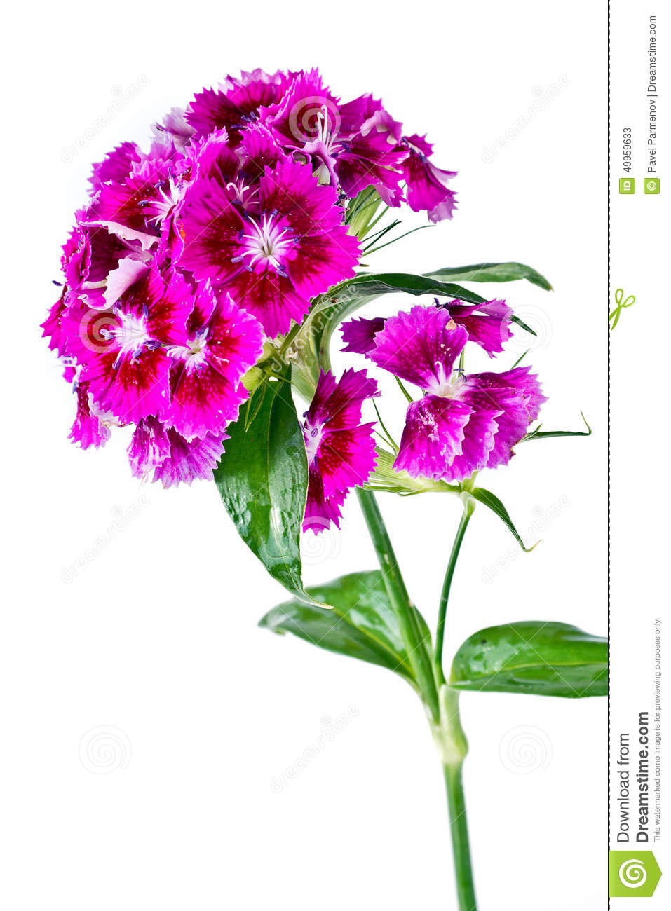 Sweet William Stock Photo.