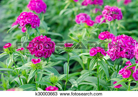 Stock Photo of Dianthus chinensis (China Pink, Sweet William.