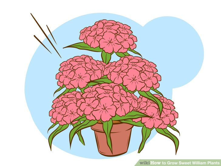 How to Grow Sweet William Plants: 15 Steps (with Pictures).