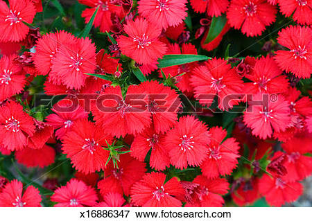 Picture of Dianthus or Sweet William, full frame x16886347.