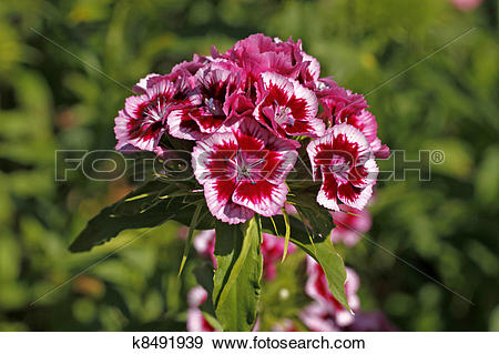 Stock Photograph of Sweet William, Dianthus barbartus k8491939.