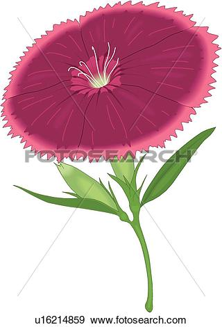 Clip Art of Sweet William u16214859.
