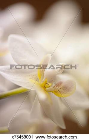 Stock Photography of Phalaenopsis Orchid Liu's Fantasy 'Sweetheart.
