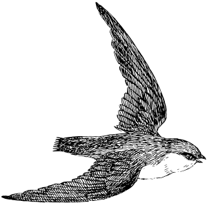 Chimney swift (bird) Clipart, vector clip art online, royalty free.