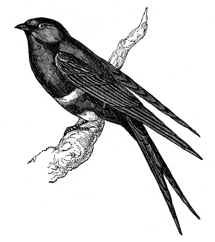 Vintage Bird Graphics.