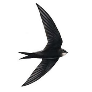 Swift bird clipart.