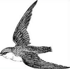 Free Swift Bird Clipart.