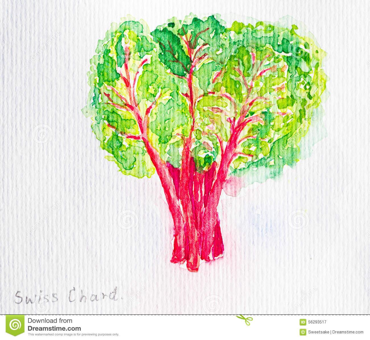 Chard Stock Illustrations.