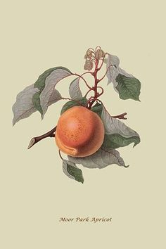 Pears, Backgrounds and Link on Pinterest.