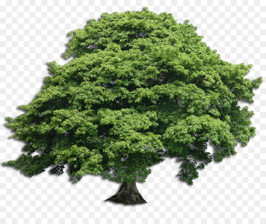Sycamore Tree clipart.