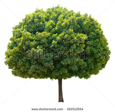 Sycamore Tree Stock Images, Royalty.
