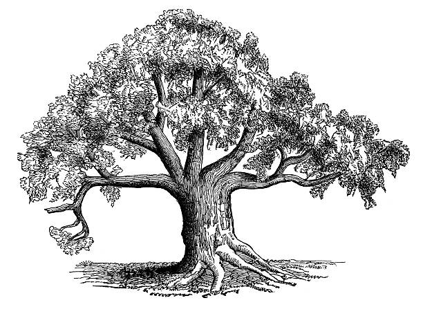 Drawing Of A Sycamore Tree Clip Art, Vector Images & Illustrations.
