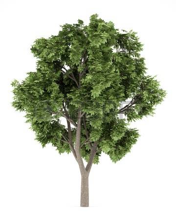 761 Sycamore Tree Stock Illustrations, Cliparts And Royalty Free.