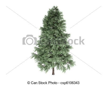 Drawings of Pine or Pinus sylvestris.
