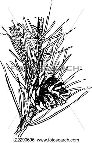 Clip Art of Scots pine or Pinus sylvestris, vintage engraving.