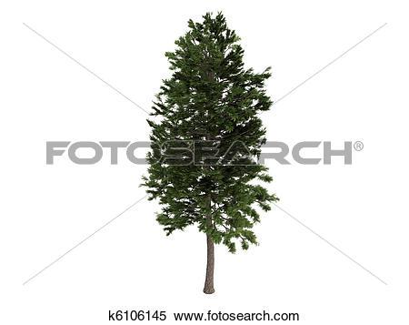 Stock Illustration of Pine or Pinus sylvestris k6106145.