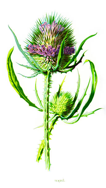 Wild Teasel Dipsacus Sylvestris Clip Art, Vector Images.