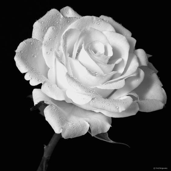 White Rose, the symbol of innocence..