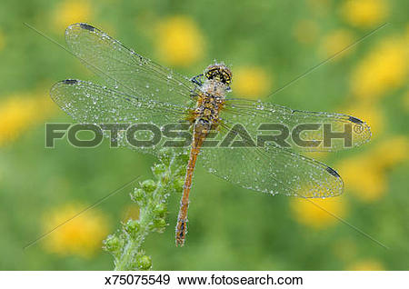 Stock Photograph of Ruddy sympetrum dragonfly (Sympetrum.