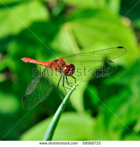 Meadow Hawk Dragonfly Stock Photos, Royalty.