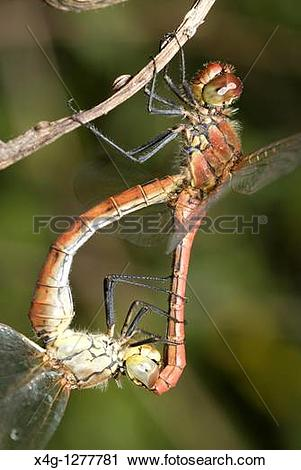 Stock Photography of Ruddy darter mating Sympetrum sanguineum x4g.