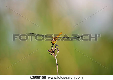 Stock Illustration of Ruddy Darter (Sympetrum sanguineum) k3968158.