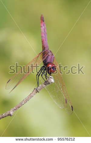 Ruddy darter Stock Photos, Ruddy darter Stock Photography, Ruddy.
