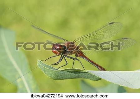 Stock Photo of Ruddy darter (Sympetrum sanguineum), sexually.